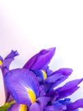 有拷贝空间的紫色和黄色虹膜在白色 免版税库存照片