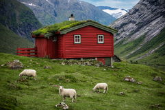 有挪威grassroof房子和绵羊的斯堪的纳维亚全景在它附近 免版税图库摄影