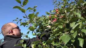 有摘红色苹果的太阳镜的人在农厂树种植园 4K 股票录像