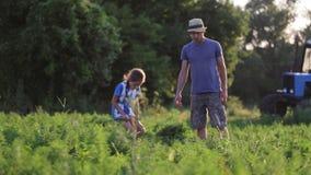 有收获在eco农场的领域的孩子的农夫有机红萝卜庄稼 股票录像