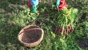 有收获橙色红萝卜在秋天和投入的绿色防护手套的花匠在篮子 股票录像