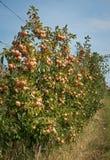 有收获的苹果树庭院 免版税库存图片