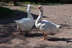 有效的期待农厂朋友鹅鹅幼鹅的动物最佳的夫妇鸡蛋做关系他们一起二走的空白通配 库存图片