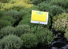 有文本的TIMO植物在意大利手段麝香草 免版税库存照片