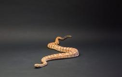 有斑点的响尾蛇桔子,在黑背景 库存照片