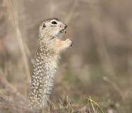 有斑点的地松鼠或被察觉的souslik地面松鼠类suslicus在吃一棵草在滑稽的姿势的地面上 库存照片