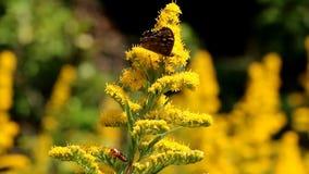 有斑点的木头和红色甲虫在黄色菊科植物 股票录像