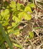 有斑点的木蝴蝶在树篱基地的起斑纹的树荫下。 库存照片