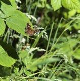 有斑点的木蝴蝶 免版税库存图片