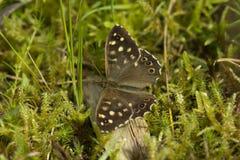 有斑点的木蝴蝶 免版税库存照片