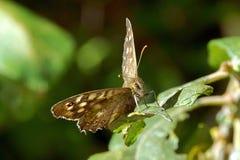 有斑点的木Pararge aegeria蝴蝶 图库摄影