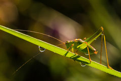 有斑点的灌木蟋蟀(Leptophyes punctatissima) 免版税库存照片