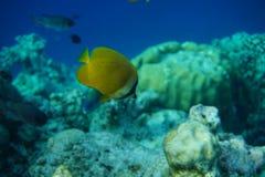 有斑点的蝴蝶鱼Chaetodon citrinellus 库存照片