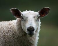 有斑点的面孔绵羊画象  图库摄影