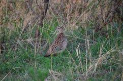 有斑点的鸟在布什和大型装配架自然 免版税库存照片