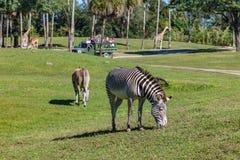 有斑马和长颈鹿的徒步旅行队封入物 免版税库存图片