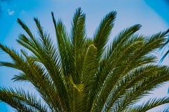 有新鲜的叶子的热带棕榈树冠在白天的夏天与蓝天 库存图片