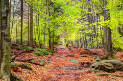 有新鲜的绿色叶子的山毛榉森林 库存照片