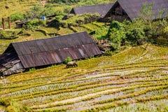 有旅行在米领域的水牛的牧人房子 图库摄影