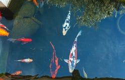 有日本五颜六色的鲤鱼鱼的Koi池塘 免版税库存照片