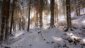 有日落光的一个美丽的积雪的森林 免版税库存图片