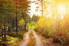 有早晨太阳发光的具球果森林 库存图片