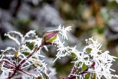 有早晨霜的冻罗斯 免版税库存图片