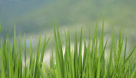 有早晨露水的Wo豪华的叶子 库存照片