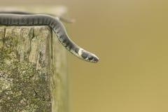 有时称圈状的蛇的一微小的婴孩草蛇Natrix natrix或水蛇,是一条欧亚无毒蛇 免版税库存图片