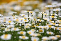 有昆虫的用花装饰的草甸 库存图片