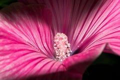 有明亮的桃红色瓣和一个中坚力量的开花的芽与白色种子 宏观花 免版税库存图片