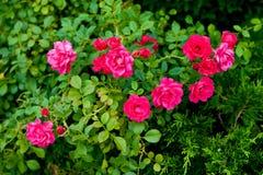 有明亮的芽射击特写镜头的玫瑰丛 图库摄影