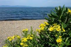 有明亮的蓝色海的黄色开花在背景中 免版税图库摄影