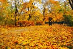 有明亮的黄色槭树的秋天公园 免版税库存照片