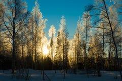 有星期日的冷淡的桦树森林在背景中 免版税图库摄影