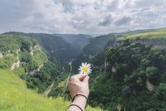有春黄菊的妇女的手在背景 免版税库存照片
