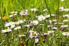 有春黄菊的草甸 库存照片
