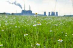 有春黄菊的草甸 免版税库存照片