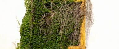 有暗藏的黄色窗口的白涂料墙壁在绿色藤 免版税库存照片