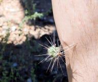有有刺的脊椎的跳跃的Cholla仙人掌多刺的植物对d 免版税图库摄影