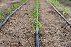 有有机胡椒植物和水滴灌溉系统的温室 图库摄影