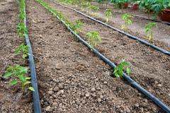 有有机胡椒植物和水滴灌溉系统的温室 库存图片