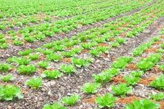 有机农厂蔬菜 免版税库存图片