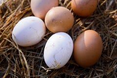 有机农夫鸡蛋 库存图片