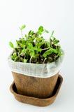 有机向日葵新芽在白色背景中 免版税图库摄影