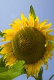 有机向日葵,法国 免版税库存照片