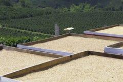 有机咖啡豆烘干 图库摄影