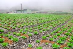 有机圆白菜农场 图库摄影