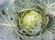 有机圆白菜由昆虫吃了 图库摄影