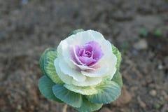 有机圆白菜花自然背景被种植在庭院 库存照片